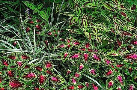 Different Varieties Of Coleus Blend With Grey Blue Grasses In The Colour Garden